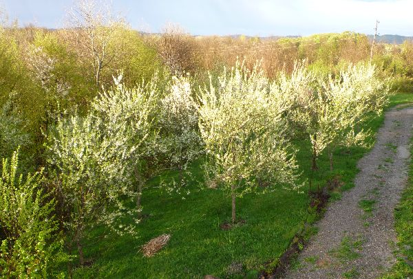 The plum orchard in blossom